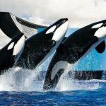 Shamu the Whale Day 2017