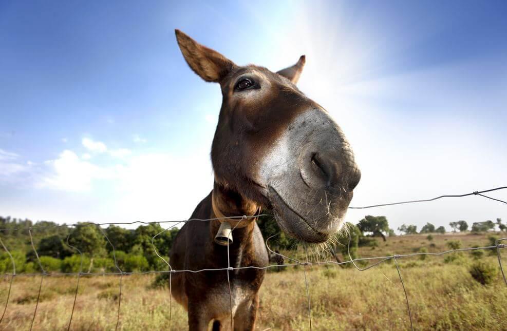Matanzas Mule Day