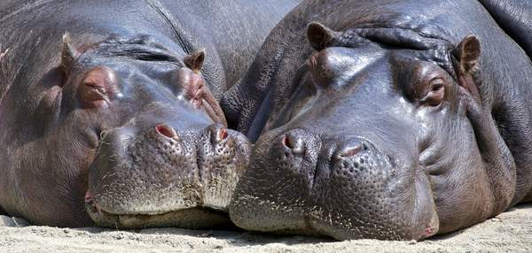 National Hippo Day