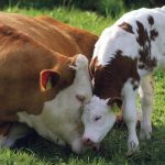 National Veal Ban Action Day