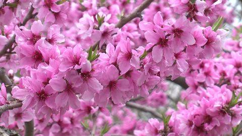 Peach Blossom Day
