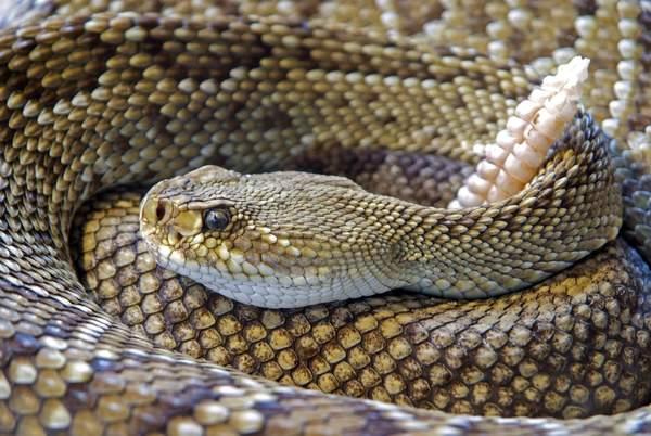 Rattlesnake Roundup Day