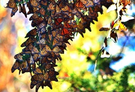 Western Monarch Day